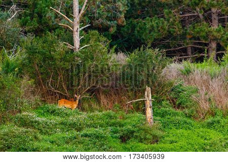 Female White-tailed deer (odocoileus virginianus) surrounded by green foliage and pine trees.