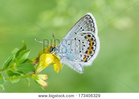 Common Blue (Polyommatus icarus) butterfly on a wild flower at spring season.