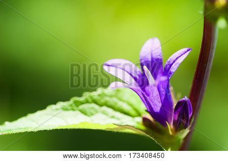 Violet Bellflowers On A Green Nature Background.