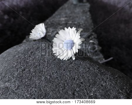 Two white daisies lying on the stone at sunset . Tuscany Italy . Artistic representation
