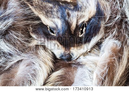 Raccoon Pelt With Head Close Up