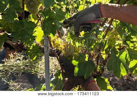 Hands of a grape harvester cutting a white grape bunches in the vine during a sunny day