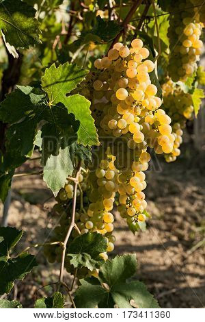White grapes bunches on the vine in a sunny day