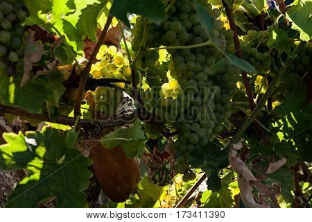 Grape harvester cutting a white grape bunches in the vineyard during a sunny day