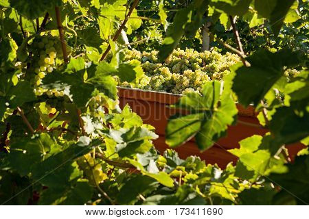 White grape bunches loaded on truck in a sunny day