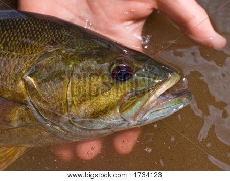 Portrait Of A Vermont Smallmouth Bass