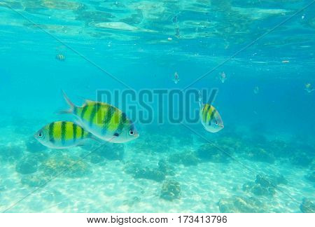 Dascillus coral fishes closeup. Underwater landscape with school of dascillus fish. Yellow and black coral fish. Clean blue sea lagoon with coral reef. Underwater photography of tropical marine life