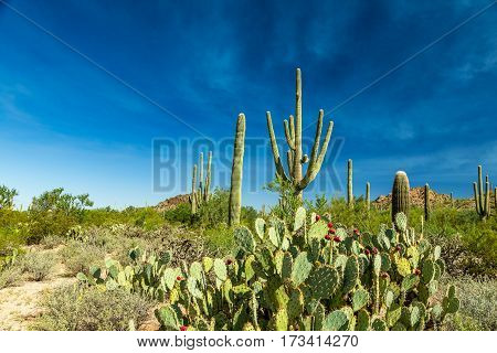 Saguaro National Park in southern Arizona is part of the National Park System in the United States. The park preserves the desert landscape fauna and flora in two park districts one east and the other west of Tucson.