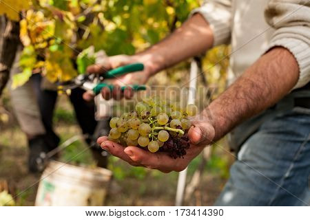Grape harvester showing a bunch of grapes in front of a vineyard