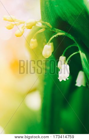 Spring blooming forest gentle flowers lilies of valley in sunlight on light green background of leaves outdoor close-up. Shallow depth of field