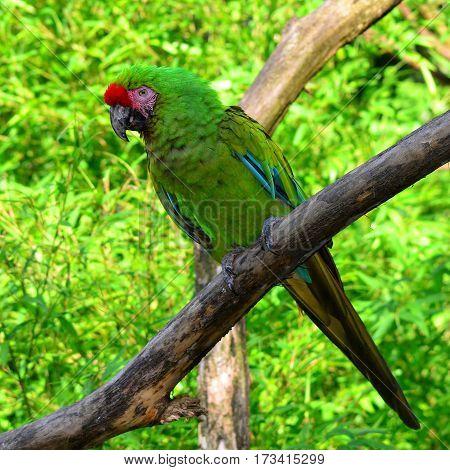 Military Macaw - Ara militaris against green leaves