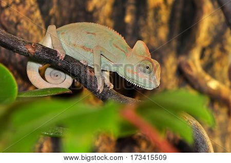 young ceylon chameleon resting under light bulb