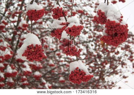 Branches mountain ash covered with snow in fairy winter forest.