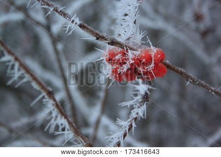 Branches mountain ash covered hoar-frost. Afternoon in fairy winter forest.
