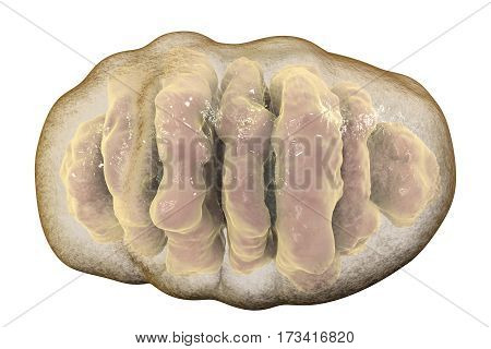 Mitochondrion isolated on white background, a membrane-enclosed cellular organelle which produces energy, 3D illustration