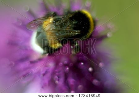 Bee sitting on flower of burdock in the meadow. Blur effect. Macro