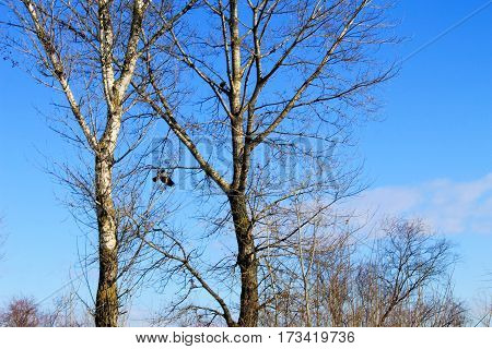 Crow in flight in the blue sky