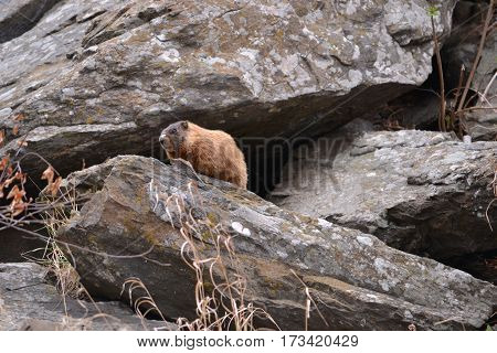 A beaver wandering around the rocks in South Dakota's Black Hills