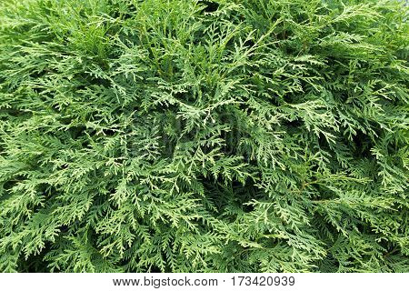 Dense Plex Of Thuya Branches Close-up