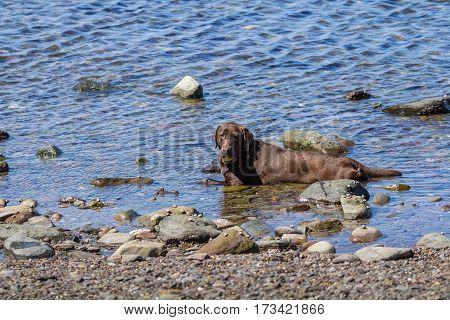Big brown dog is lying in the water. Relax and is freshened. In the jaw is holding a yellow ball for games.