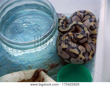 A newly hatched royal / ball python with empty egg and remains of yolk sac