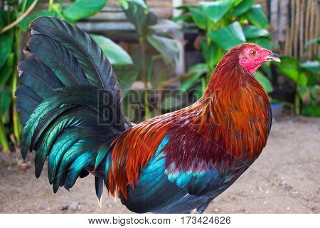 The colorful rooster in the yard. Beautiful feathers of rooster. Rooster farm bird. Fighting rooster in summer garden. Colorful rooster close photo. Domestic bird cock. 2017 Chinese New Year symbol
