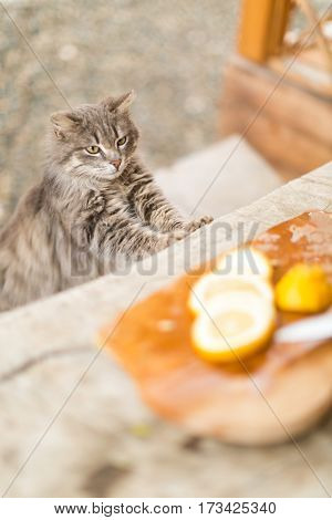 funny cat looking at the cut lemons on a wooden table outdoors