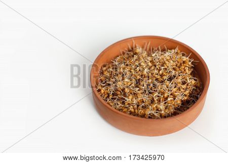 young wheat seedlings in a clay container on a white background isolated
