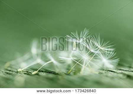 Dandelion abstract background. Shallow depth of field.