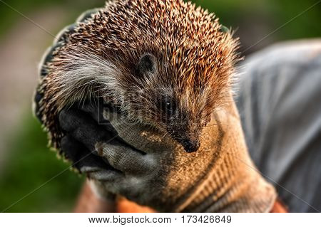 hedgehog forest in the hands of man