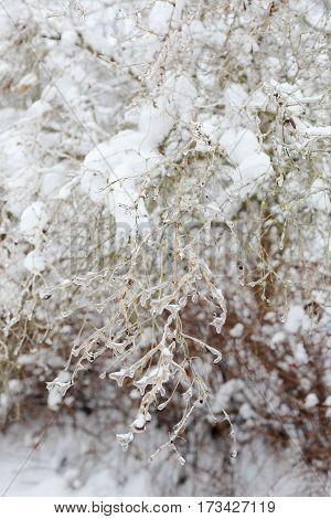 The effects of the ice storm. Icebound plant closeup.