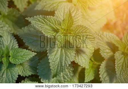 Large bush of nettles growing in the field. Medicinal plant.