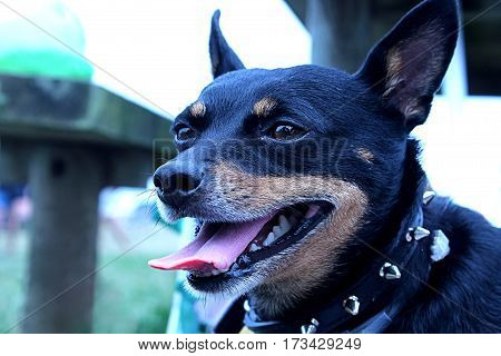 Evil black dog with spiked collar smiles happy