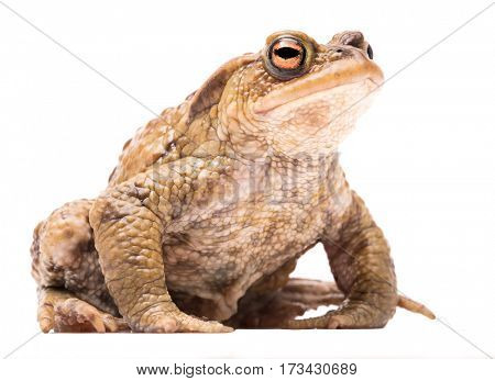 common toad, Bufo bufo. A beautiful amphibian. Animal isolated on white background