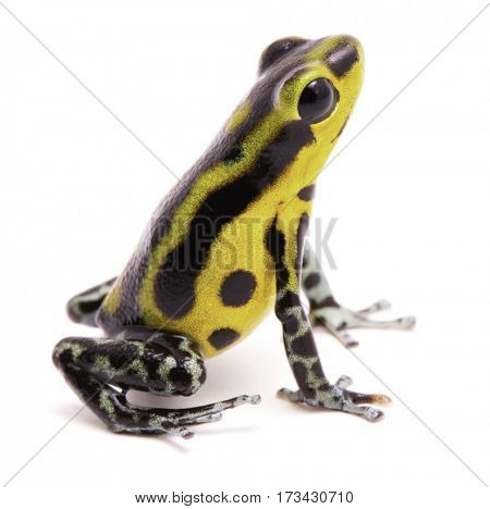 Poison arrow frog, an amphibian with vibrant yelllow.Tropical poisonous rain forest animal, Oophaga pumilio isolated on a white background.