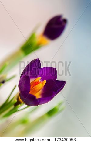 Closeup crocus on gentle background with real reflection light, real gradient. Concept of spring, beauty in nature, gardening, flowers
