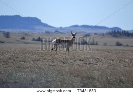 Pronghorn (sometimes called American antelope) roaming the plains of southern Wyoming