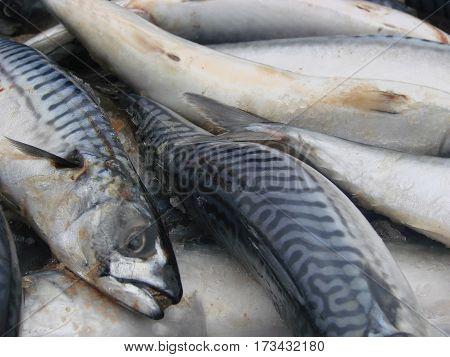 raw mackerel on the market close up. Selective focus.