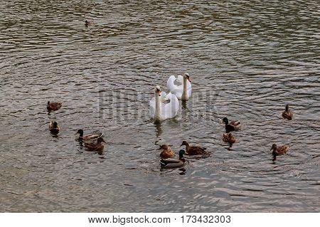 Family Of Swans With Cygnets On A Lake