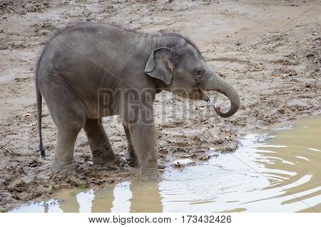 Small baby elephants drinking from near puddle