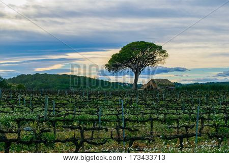 Field of grape vines early spring in Spain, lonely tree with old house, wine grape area. Vineyard in sunset