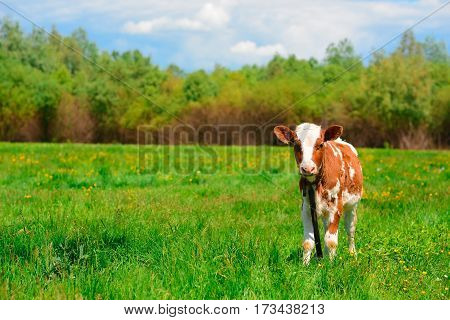 Black And White Cow Grazing On Meadow In Mountains. Cattle On A Mountain Pasture. Summer Sunny Day.