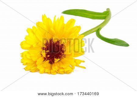 Marigold flower isolaetd on white herbal medicine