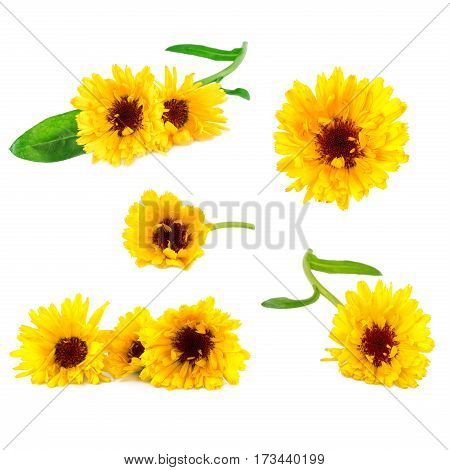 Marigold flowers collection. Herbal medicine calendula flower isolated on white
