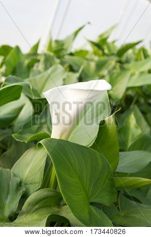 Calla Flower In Greenhouse With Water Irrigation