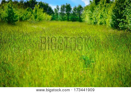 Wild Chamomile Flowers On A Field On A Sunny Day. Shallow Depth