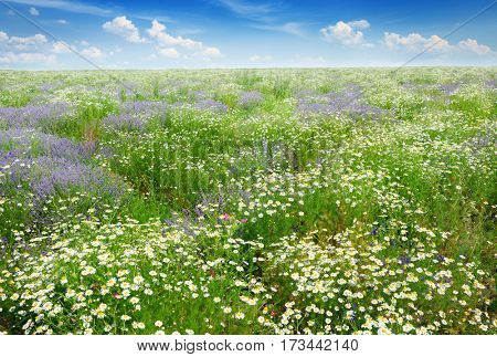 Picturesque field covered grass, lavender, daisies and other flowers.