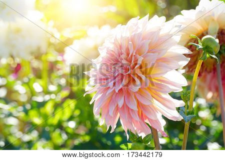 White chrysanthemum in sun backlit. Shallow depth of field.