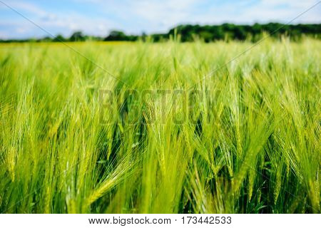 Landscape Of Barley Field In Early Summer