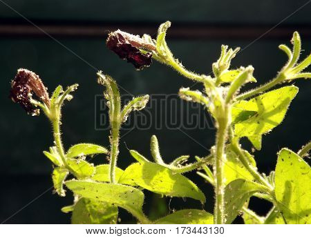 Petunia plant pest spider mites on the leaves